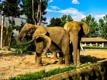 Two elephants throw sand at each other in sunny day.  royalty free stock photography