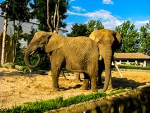 Two elephants throw sand at each other in sunny day.  royalty free stock photo