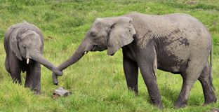 Two Elephants with Tied Trunks Stock Images