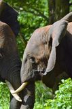 Two elephants trunk to trunk Stock Photo