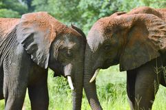 Two elephants trunk to trunk Stock Image