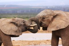 Two elephants tussling Stock Image