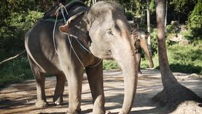 Two elephants wait for tourists to ride. Two elephants on a farm in the sun waiting for tourists stock video footage