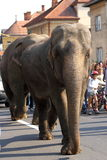 Two elephants walking Stock Images