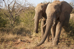 Two elephants walking in the bushes Royalty Free Stock Photography