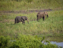 Two elephants walking, Kruger National Park, South Africa Royalty Free Stock Image