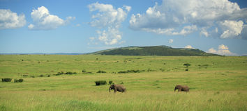 Two elephants walking through the Masai Mara Stock Photo