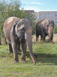 Two elephants walking in a meadow near the house Royalty Free Stock Photos