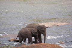 Two elephants walking in river Stock Photography
