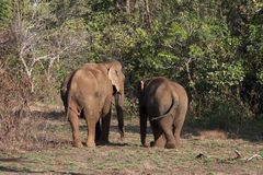 Two elephants walking toward the forest royalty free stock images