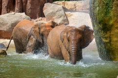 Two elephants walking under a waterfall. Photo of two elephants taken inside the Biopark in Valencia Royalty Free Stock Photo