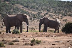 Two elephants at a waterhole drinking water on a sunny day in Addo Elephant Park in Colchester, South Africa Royalty Free Stock Photo