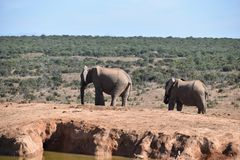 Two elephants at a waterhole drinking water on a sunny day in Addo Elephant Park in Colchester, South Africa Stock Image