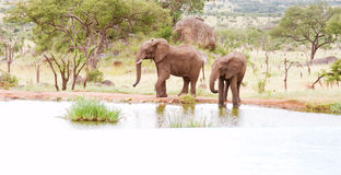 Two elephants. At watering hole Royalty Free Stock Photos