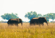Two elephants wilking in grass Stock Photos