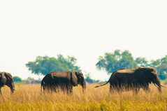 Two elephants wilking in grass Royalty Free Stock Images