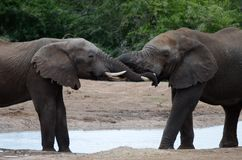 Two elephants wrap trunks together next to water hole. Two elephants stand next to a water hole, with their wrap trunks together as they pull against each other Stock Photos