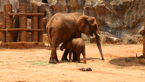 Two elephants in a zoo stock video footage