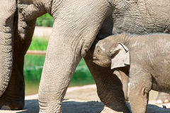 Two elephants in zoo Stock Photography