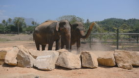 Two elephants at the zoo sprinkles sand itself. Beautiful elephant sprays sand from his trunk. Slow motion Close up stock video footage