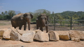 Two elephants at the zoo sprinkles sand itself. Beautiful elephant sprays sand from his trunk. Slow motion Close up.  stock footage