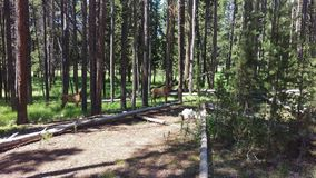 Two Elk Calves in Forest Stock Image