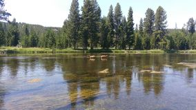 Two Elk Calves in River Royalty Free Stock Photo
