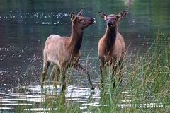 Two elk calves stand in shallow water Royalty Free Stock Photo