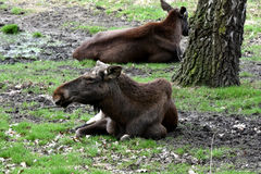 Two elk cows Royalty Free Stock Photo