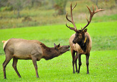 Two Elk during mating season Stock Photography