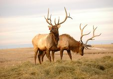 Two Elk with Mature Antlers stock photography