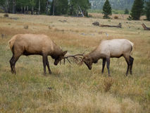 Two Elk Sparing with each other Stock Photography