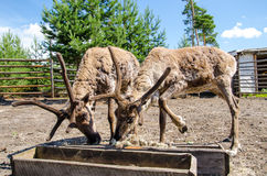 Two elks eating royalty free stock images