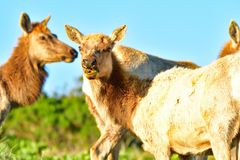 Two Elks munching grass stock images