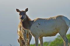 Two Elks munching grass stock image