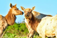 Two Elks munching grass. A pair of Elks munching on grass royalty free stock photos