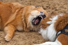 Two Elo dogs lying barking in the sand Royalty Free Stock Images