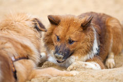 Two Elo dogs playing in the sand Stock Images