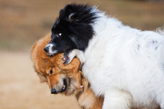 Two Elo dogs playing together Royalty Free Stock Photo