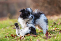 Two Elo puppies scuffle on the meadow Royalty Free Stock Image