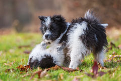 Two Elo puppies scuffle on the meadow Royalty Free Stock Photo