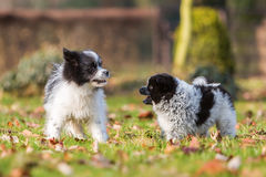 Two Elo puppies scuffle on the meadow Royalty Free Stock Photography
