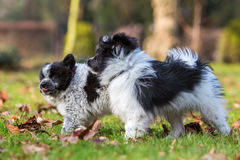 Two Elo puppies scuffle outdoors Stock Images
