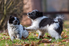 Two Elo puppies scuffle outdoors Royalty Free Stock Image