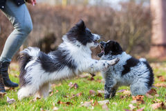 Two Elo puppies scuffle outdoors Royalty Free Stock Images