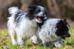 Two Elo puppies scuffle outdoors Stock Photos