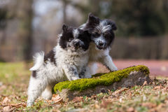 Two Elo puppies scuffle outdoors Royalty Free Stock Photos