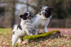 Two Elo puppies scuffle outdoors Stock Photography