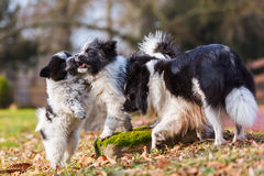 Two Elo puppies scuffle outdoors Stock Photo