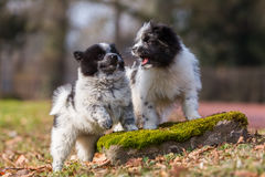 Two Elo puppies scuffle outdoors Royalty Free Stock Photo